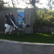 The pelican exhibit stage had recently been enlarged so the staff are painstakingly familiarizing the animals with the new space.