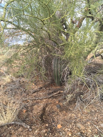 "A palo verde tree serving as a ""nurse"" and protecting a baby saguaro"