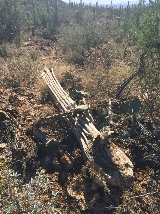 A saguaro skelton