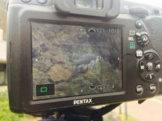 The female peregrine falcon, captured in the screen of a birder's high powered camera